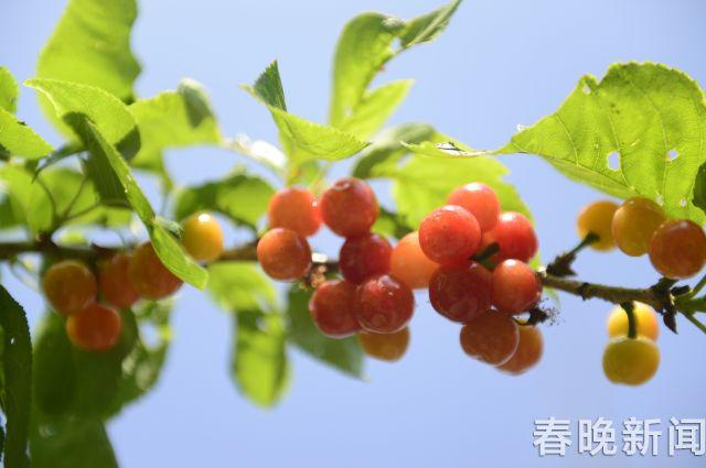 富民樱桃3