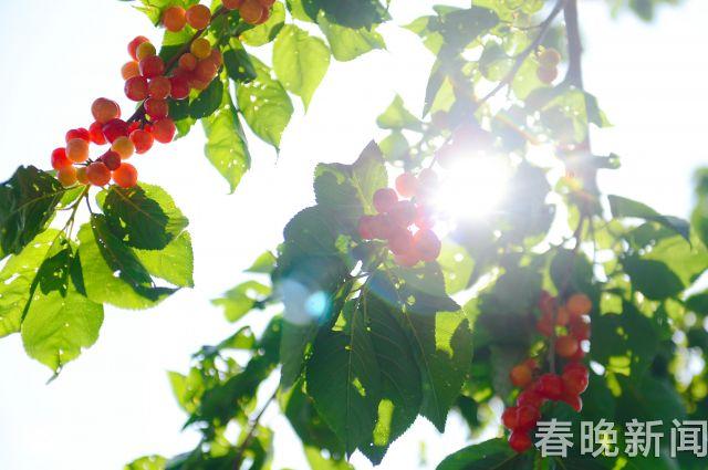 富民樱桃8