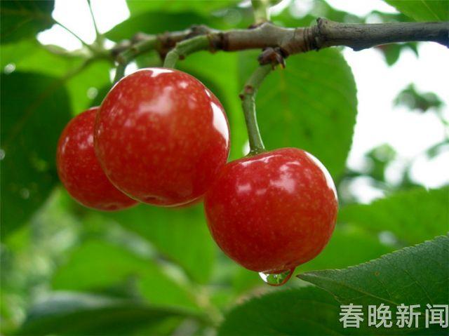 鲁甸樱桃7