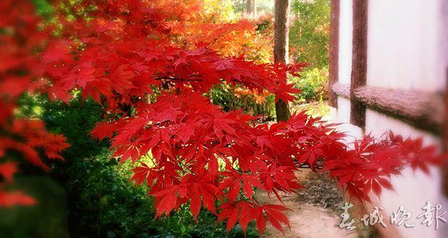 郊野公园枫叶红了